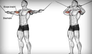 the-primary-muscles-worked-by-the-overhead-cable-curl