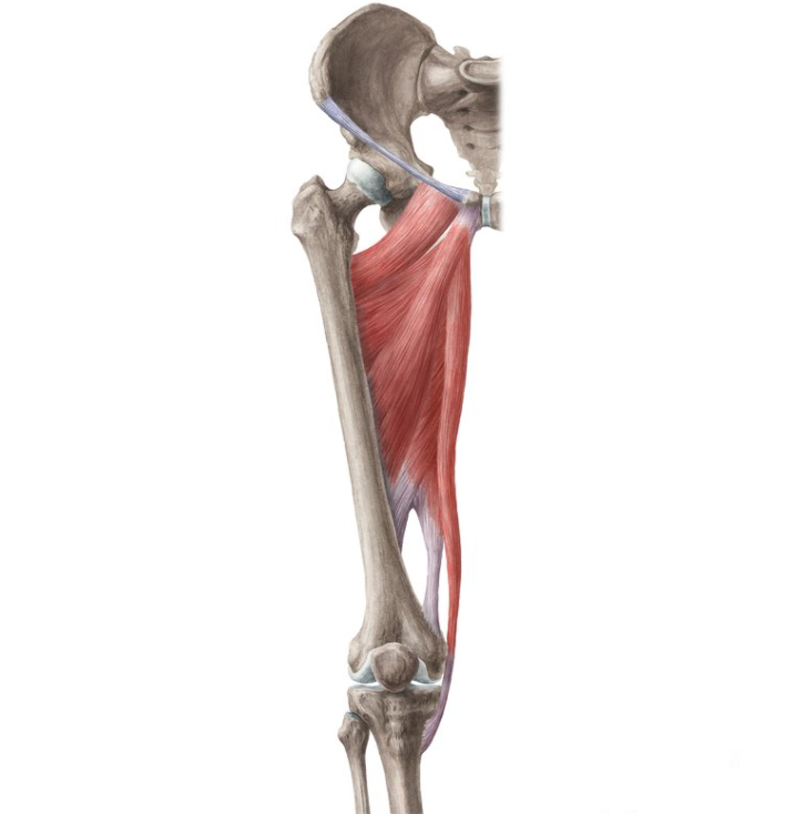 Adductors & Hip Flexors are worked by the step up exercise