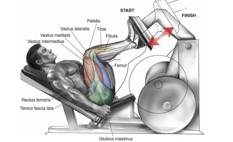 Muscles Worked on the Leg Press