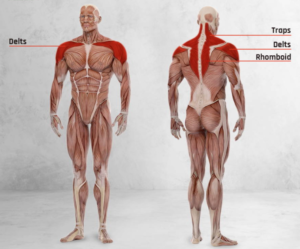 Muscles Worked with Barbell Face Pull Exercise