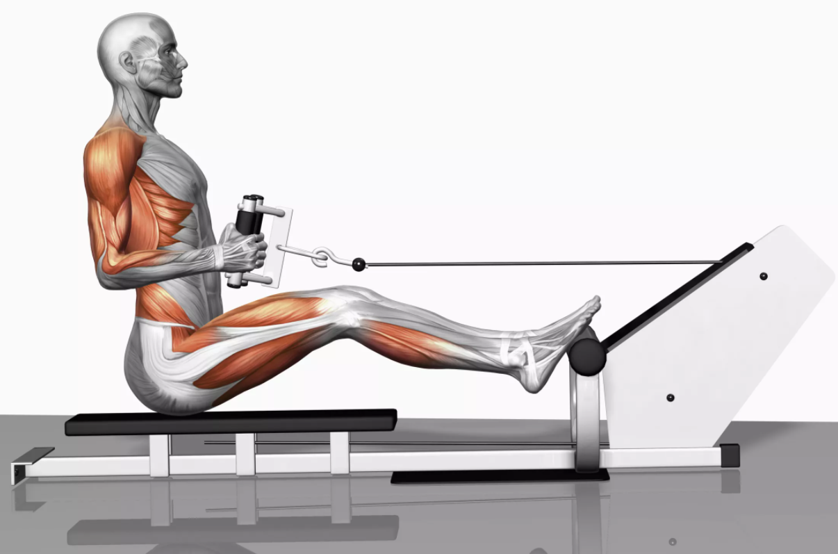 Carry out the Seated Row Exercise with your muscle